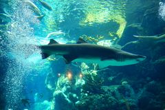 A blacknose shark. Is swimming in clear blue water at a local aquarium, taken in Florida Royalty Free Stock Photography