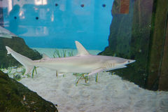 A blacknose shark. Is swimming in clear blue water at a local aquarium, taken in Florida Royalty Free Stock Photo