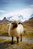 Blacknosed Swiss sheeps (Ovis aries), Swiss Alps Royalty Free Stock Photos