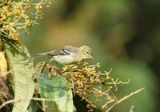 Blackpoll鸣鸟10 图库摄影