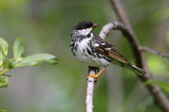 Blackpoll Warbler Royalty Free Stock Images