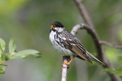 Blackpoll Warbler Stock Photos
