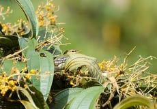 Blackpoll Warbler 03 stock photos