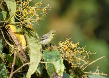 Blackpoll Warbler 07 stock photography