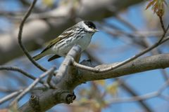 Blackpoll Warbler. Male Blackpoll Warbler perched on a branch.Ashbridges Bay Park, Toronto, Ontario, Canada Royalty Free Stock Image