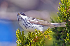 Blackpoll Warbler Royalty Free Stock Photos