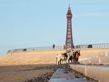 Blackpool Donkeys nd historic Tower Royalty Free Stock Photos