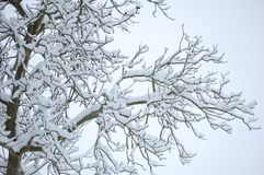 Blacks branches white snow Royalty Free Stock Photos