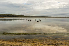Blacks swans. In drammatic and cloudy landscape in Georges Bay, St Helens, the most important city on the East Coast, Tasmania, Australia. Concept of purity Royalty Free Stock Photos