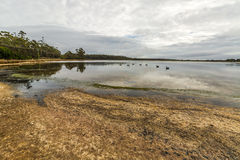 Blacks swans. In drammatic and cloudy landscape in Georges Bay, St Helens, the most important city on the East Coast, Tasmania, Australia. Concept of purity Stock Photos