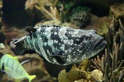 Blacksaddled coralgrouper fish. In the aquarium stock photos