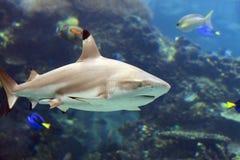 BlackShark. Blacktip Reef Shark (Carcharhinus melanopterus) swimming over tropical coral reef royalty free stock photo