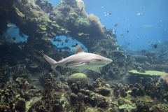 Blacksharkt. Blacktip Reef Shark (Carcharhinus melanopterus), swimming over coral with coral bommie in background royalty free stock photography