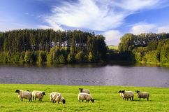 Blacksheeps. Black Sheep graze in a meadow near the water Royalty Free Stock Photos