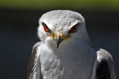 Blackshouldered Kite Stock Images
