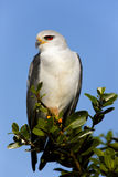 BlackShouldered Kite Royalty Free Stock Photos