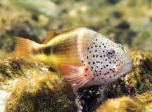 blackside珊瑚hawkfish礁石 免版税库存图片