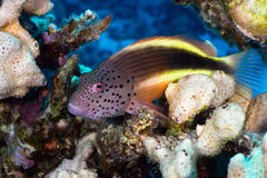 Blackside hawkfish Stock Images