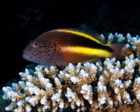 Free Blackside Hawkfish Royalty Free Stock Images - 30810639