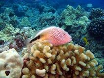 Blackside Hawkfish che si siede sul corallo immagine stock