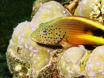 Blackside Hawkfish close-up Stock Photo
