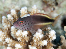 Blackside hawkfish Royalty Free Stock Image