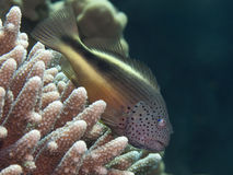 Blackside hawkfish Royalty Free Stock Photos