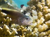 Blackside hawkfish mit geöffnetem Mund Stockbild