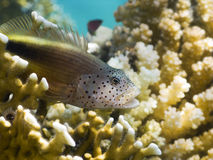 Blackside hawkfish with open mouth Stock Image