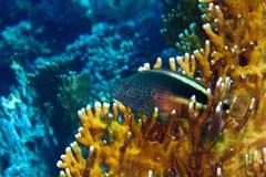 Blackside hawkfish Royalty Free Stock Photography