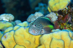 Blackside hawkfish Royalty Free Stock Images