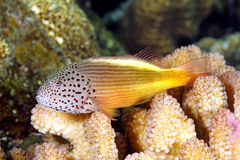 Blackside Hawkfish, Paracirrhites forsteri Stock Photography