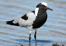 Blacksmith Lapwing Royalty Free Stock Photo