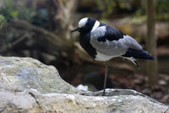 Blacksmith Lapwing Royalty Free Stock Images