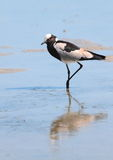Blacksmith Lapwing Royalty Free Stock Photography