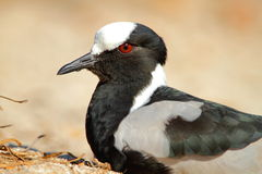 Blacksmith Lapwing Royalty Free Stock Photos