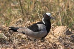 Blacksmith Lapwing. (Plover) gaurding its nest from intruders Stock Photo