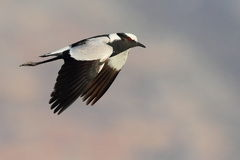 Blacksmith Lapwing Stock Image