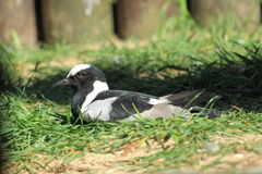 Blacksmith lapwing Stock Images