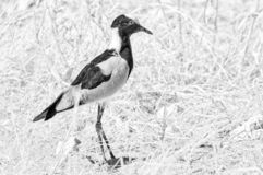 Blacksmith lapwing, also called a blacksmith plover. Monochrome stock image