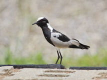 Blacksmith lapwing bird Stock Images