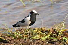 Blacksmith lapwing bird Stock Photography