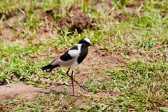 Blacksmith lapwing bird Stock Photography