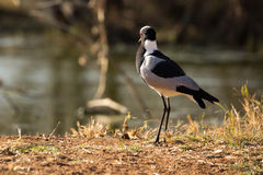 Blacksmith Lapwing or Blacksmith Plover - Vanellus armatus Royalty Free Stock Photos