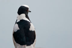 Blacksmith Lapwing closeup Royalty Free Stock Images