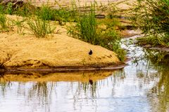Blacksmith lapwing at the edge of the Sabie River near Skukuza in Kruger National Park Royalty Free Stock Images