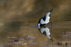 Blacksmith Lapwing feeding. In water Royalty Free Stock Photo