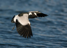 Blacksmith Lapwing flying over water Royalty Free Stock Photo