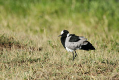 A Blacksmith lapwing Stock Images
