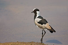 Blacksmith Lapwing Plover Stock Photo